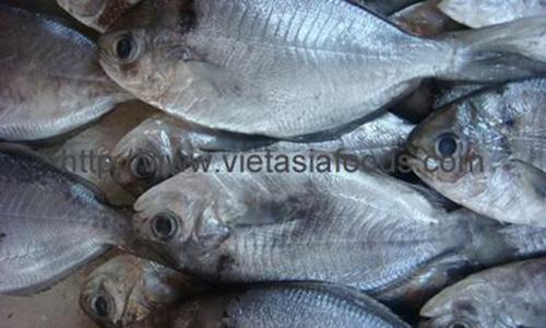 Frozen Butter Fish distributors