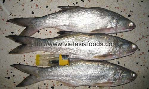 Frozen Fourfinger Threadfin distributors
