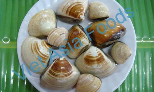 Frozen Big Clam, Asiatic hard clam distributors
