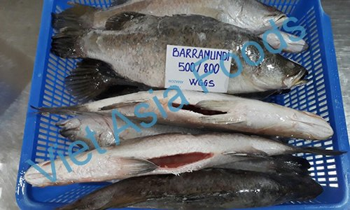 Frozen Barramundi , Asian Seabass , Giant Perch , Koral suppliers