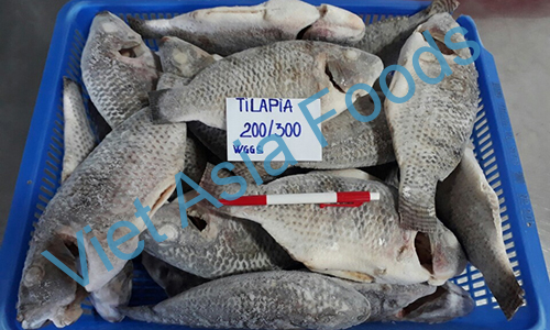 Frozen Black Tilapia / Telapia distributors