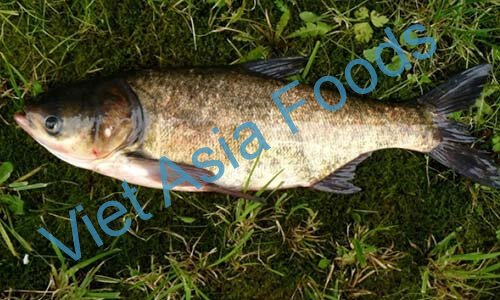 Frozen Carp Group suppliers