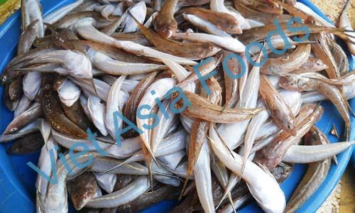 Frozen Flathead fish / Bartail Flathead fish / Megochi distributors