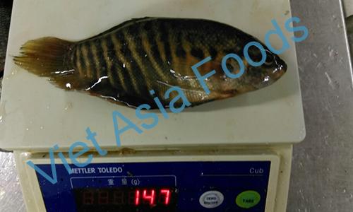 Frozen Gourami, Gourami fish, Snakeskin gourami distributors