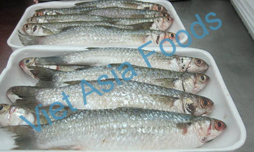 Frozen Grey Mullet Fish – Bata distributors