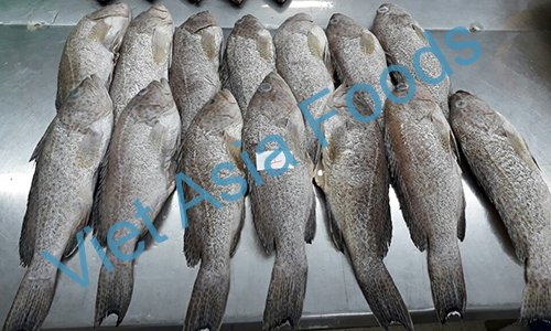 Frozen Grouper distributors