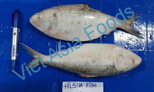 Frozen Hilsa shad - Hilsa – Ilish distributors