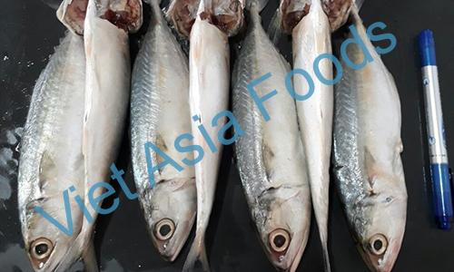 Frozen Indian Mackerel distributors