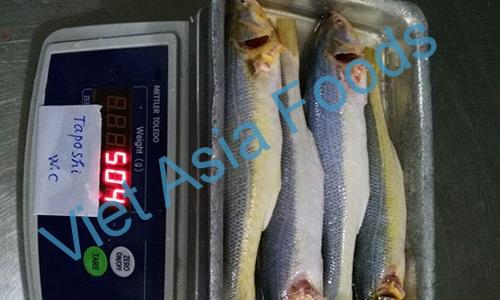 Frozen Goat fish / Paradise threadfin / Taposhi distributors