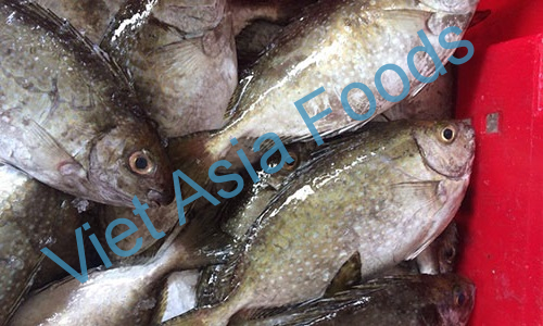 Frozen Rabbitfish - Spinefoot – Ishigakidai distributors