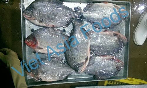 Frozen Red Pomfret / Red Pacu / Red bellied Pacu distributors