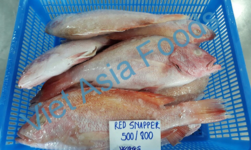 Frozen Red Snapper - Tropical Snapper - Yoko-Fuedai distributors