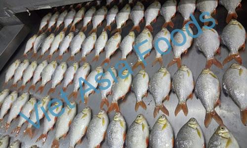 Frozen Red tailed Tinfoil barb, Rani Puti distributors