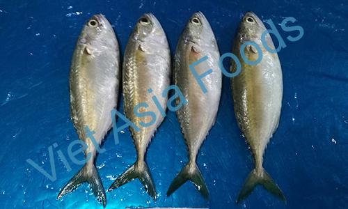 Frozen Short body mackerel distributors
