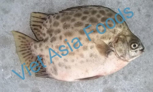 Frozen Spotted Scat, Spadefish suppliers