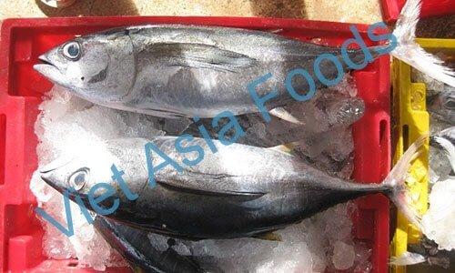 Frozen Tuna whole round & Slice - cheap species distributors