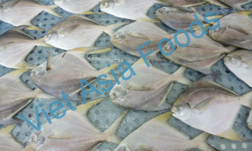Frozen White pomfret distributors