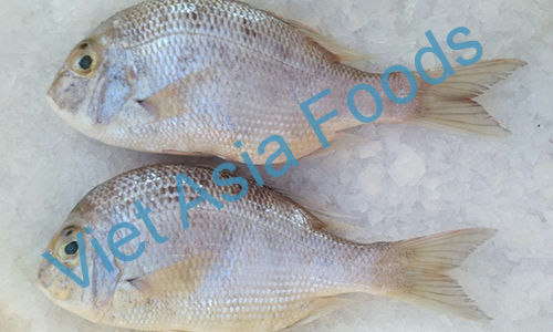 Frozen White Snapper distributors