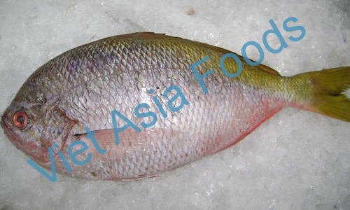 Frozen Yellow stripe Snapper / Yellow-tail Fusilier distributors